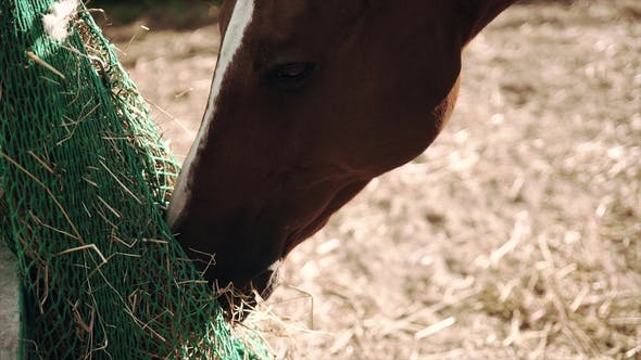 Thumbnail for Horse Eating Hay at Stable