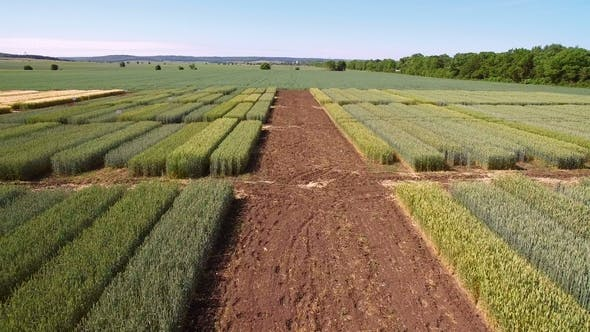 Thumbnail for Studies of Rye and Wheat Varieties. Flying Over the Field of Plots for Crop Research. Scientists Are