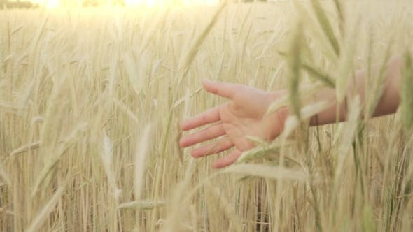 Cover Image for Girls Hand Touching Wheat