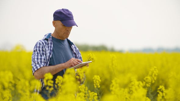 Cover Image for Researcher With Digital Tablet Examining Rape Blossom On Field