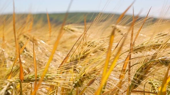 Thumbnail for Yellow Spike  in the Field, Swinging Wind. The Harvest of Wheat