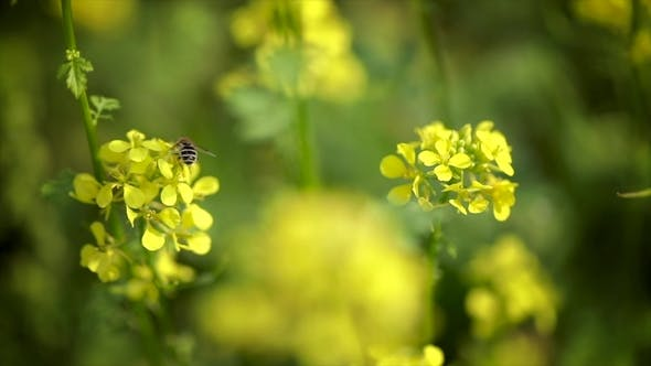 Thumbnail for Bee Collects Nectar From Mustard Rapeseed Flower .