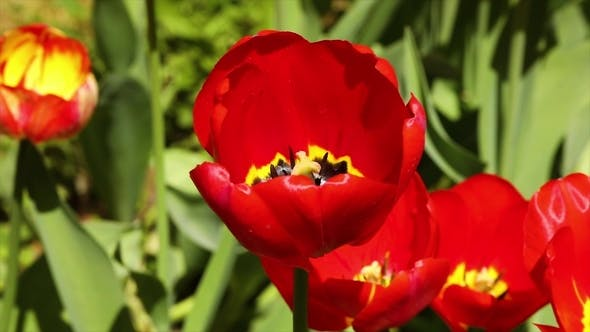 Cover Image for Opened Tulip on a Green Background in