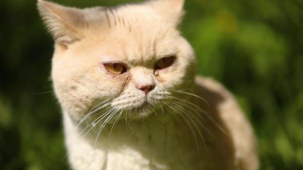 Cat British on Green Grass in