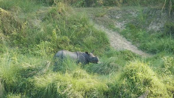 Thumbnail for Rhino Eats Green Grass. Chitwan National Park in Nepal