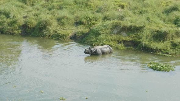 Thumbnail for Rhino Eats and Swims in the River. Chitwan National Park in Nepal.