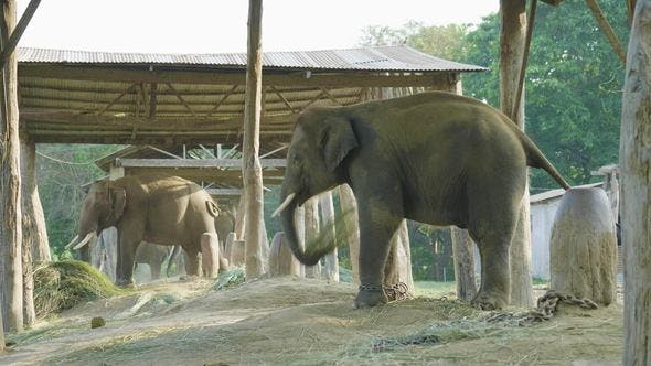 Thumbnail for Elephants in the Farm of National Park Chitwan, Nepal