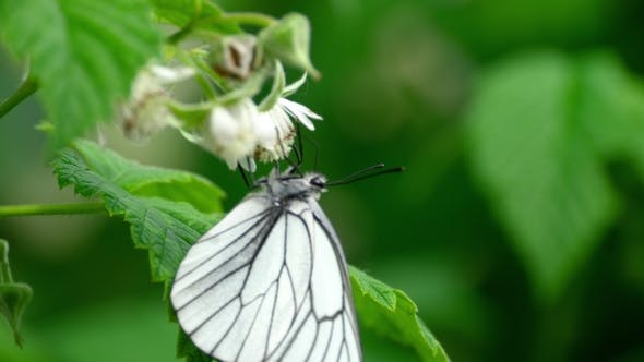 Cover Image for Black Veined White Butterfly on Raspberry Flowers