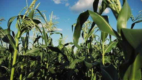 Inside the Ripe Corn Field