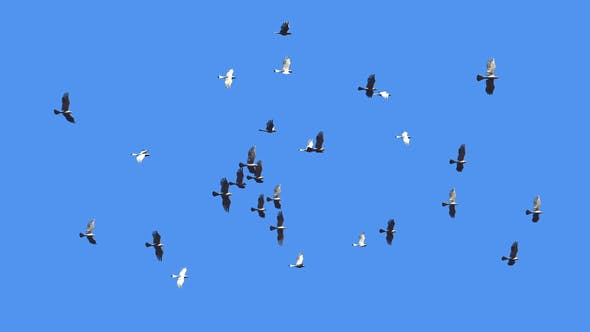 Thumbnail for Flying Bird Flock Loop