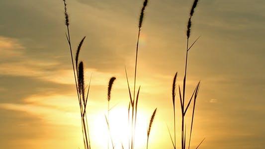 Thumbnail for Lalang Grass At Sunset Full HD