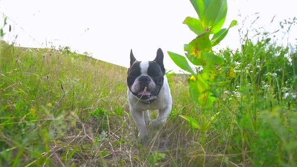 Thumbnail for Bulldog Is Running in the Countryside