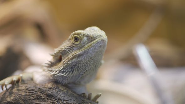 Cover Image for A Bearded Dragon Eats a Cockroach