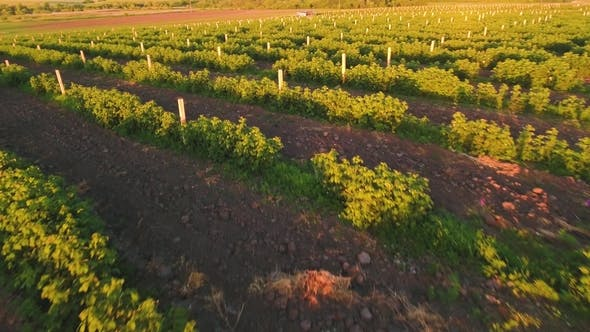 Aerial View at Strawberry Plantation at the Sunset