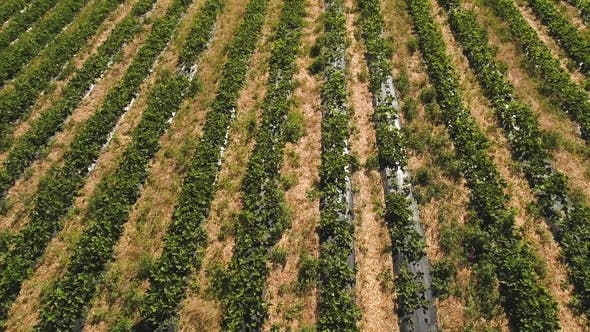 Thumbnail for Drone Flying Above Strawberry Field