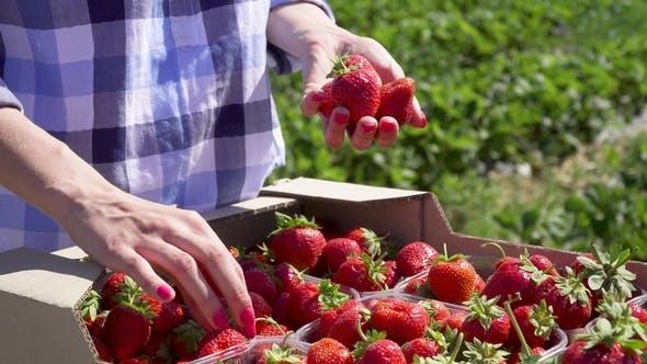Thumbnail for Girl Picking Strawberries in Hand