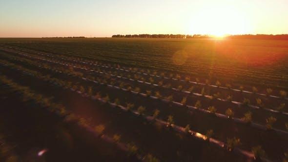 Beautiful Sunset at Strawberry Plantation
