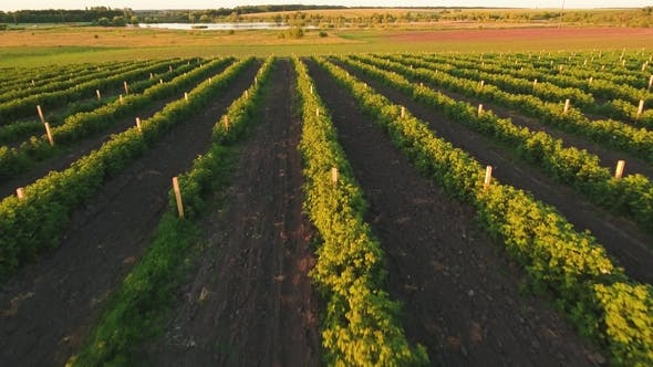 Strawberry Plantation at the Sunset From Flying Drone