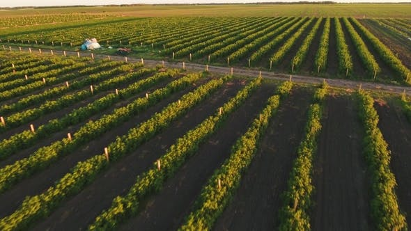 Aerial View at Rows of Strawberry Bushes