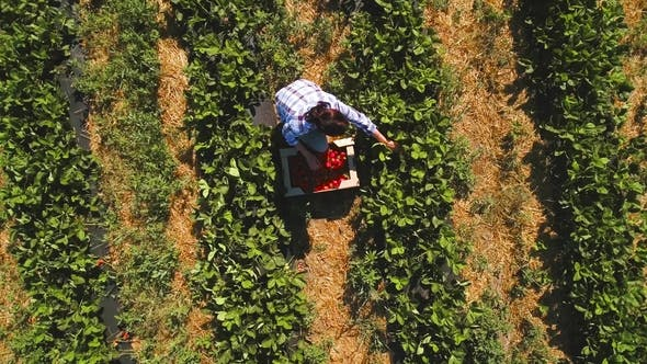 Thumbnail for Young Girl Picking Strawberry, Drone Circling Above the Girl