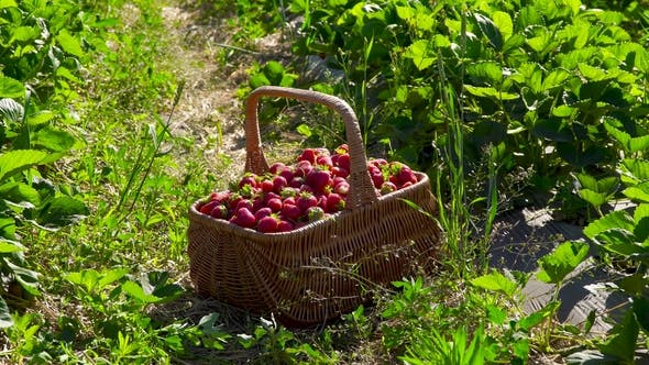 Thumbnail for Wicker Basket Full of Strawberries at the Strawberry Field