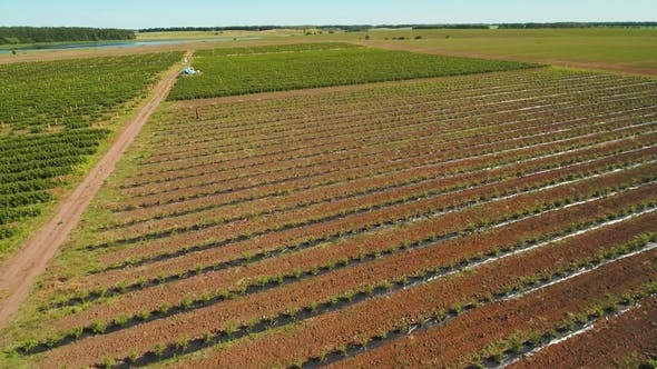 Thumbnail for Aerial View at Strawberry Bushes at the Field
