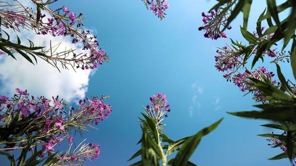 Thumbnail for Ivan-tea, Kiprei, Epilobium, Herbal Tea on the Field,