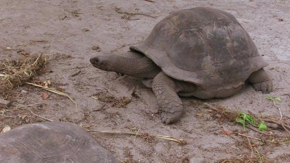 Thumbnail for Giant Tortoises Outdoors