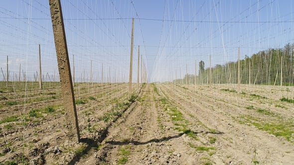 Cover Image for View on Hops Field. Field of Hops Before Harvesting