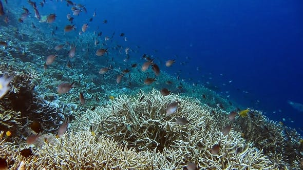 Thumbnail for Many Sergeant Fish Swimming Above the Beautiful Hard Coral on the Reef Edge. Deep Blue Ocean Water