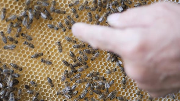 Thumbnail for Working Bees Work Honeycomb with Honey