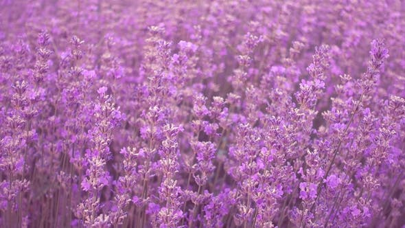 Cover Image for Lavender Field, Beautiful Tender Lavender Flowers on a Wind