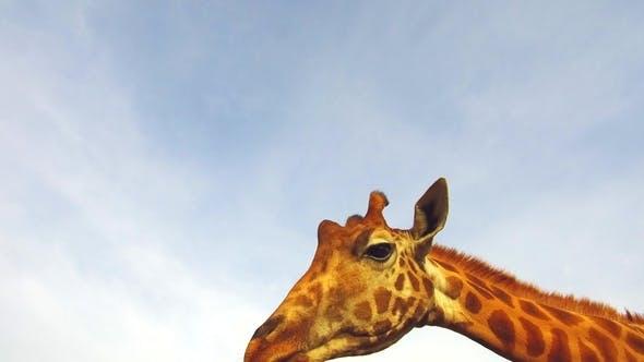 Thumbnail for Giraffe in Africa 96