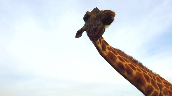 Thumbnail for Giraffe in Africa 83