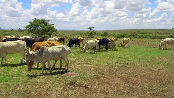 Cows Grazing in Savannah at Africa