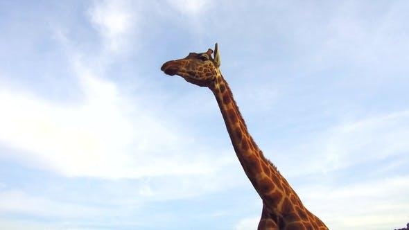 Thumbnail for Giraffe in Africa