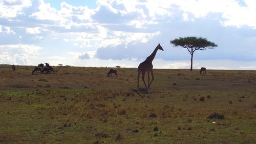 Giraffe and Wildebeests in Savannah at Africa