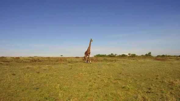 Thumbnail for Giraffe Walking Along Savannah at Africa 52