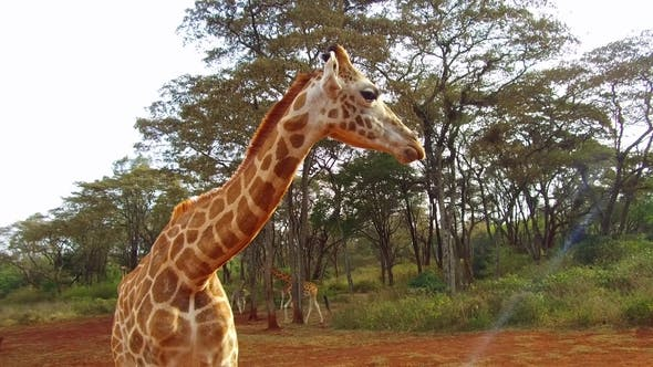 Thumbnail for Group of Giraffes in Savannah at Africa 89