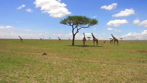 Thumbnail for Group of Giraffes in Savannah at Africa