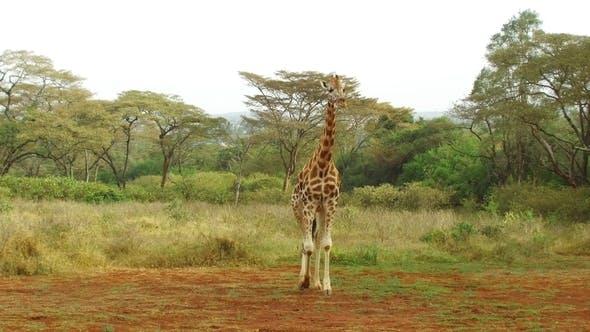 Thumbnail for Giraffe Walking Along Savannah at Africa