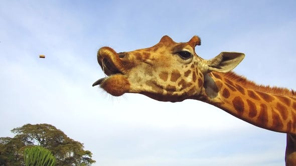 Thumbnail for Giraffe Catching Feed in Africa