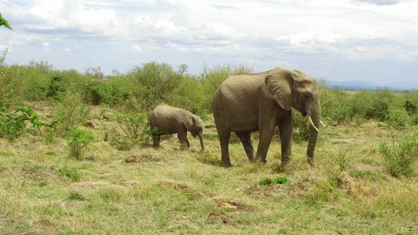 Thumbnail for Elephant with Baby or Calf in Savannah at Africa