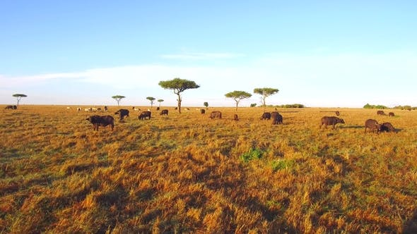 Thumbnail for Buffalo Bulls Grazing in Savannah at Africa