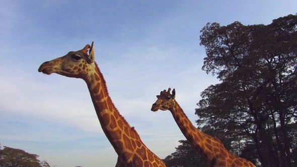 Thumbnail for Couple of Giraffes in Savannah at Africa