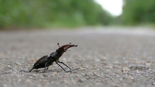 Beetle Deer on the Asphalt Road Creeps. Lucanus Cervus