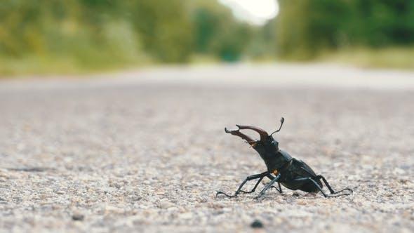 Thumbnail for Beetle Deer on the Asphalt Road Creeps, Lucanus Cervus