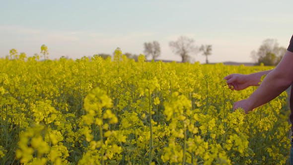 Farmer Examining Rape Blossom On Field