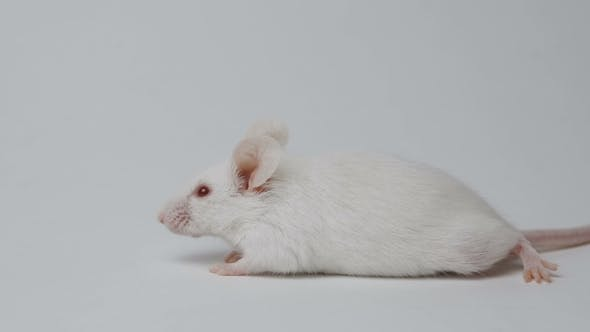 Thumbnail for White Laboratory Mouse on White Background . Concept - Testing of Drugs, Vaccines, Laboratory