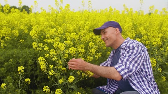 Thumbnail for Farmer Examining And Smelling Rapeseed Blossom At Field